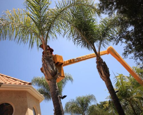 Palm Tree Trimming-Miami Springs FL Tree Trimming and Stump Grinding Services-We Offer Tree Trimming Services, Tree Removal, Tree Pruning, Tree Cutting, Residential and Commercial Tree Trimming Services, Storm Damage, Emergency Tree Removal, Land Clearing, Tree Companies, Tree Care Service, Stump Grinding, and we're the Best Tree Trimming Company Near You Guaranteed!